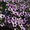 Petunia 'Sweetunia Purple Spotlight'