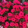 Petunia 'Supertunia Vista Fuchsia Improved'