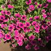 Petunia 'Supertunia Pretty Much Picasso'
