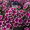 Petunia 'Big Deal Pinkadilly Circus'