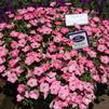 Petunia 'Big Deal Salmon Shimmer'