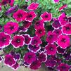 Petunia 'Crazytunia® Passion Punch'