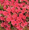 Petunia 'Sanguna® Patio Salmon'