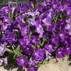 Petunia 'Sanguna® Patio Blue Morn'