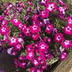 Petunia 'Sanguna® Patio Radiant Rose'