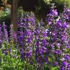 Salvia 'Magic Wand'