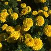 Tagetes erecta 'Cheerleader Yellow'