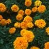 Tagetes erecta 'Cheerleader Orange'