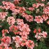 Verbena 'Superbena Royale Peachy Keen Improved'