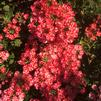 Verbena 'Lanai Synchro Red Star'