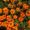 Zinnia 'Zahara X L Fire Improved'