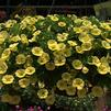 Calibrachoa 'Cabaret® Lemon Yellow 2'