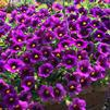Calibrachoa 'Superbells Grape Punch Improved 2'