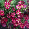 Petunia 'Amore Queen of Hearts 2'