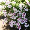 Petunia 'Big Deal Flamenco Dancer 2'