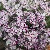 Petunia 'Big Deal Freaky Fuchsia 2'