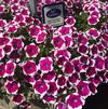 Petunia 'Big Deal Pinkadilly Circus 2'