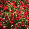 Petunia 'Littletunia Red Fire 2'
