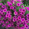 Petunia 'Supertunia Picasso in Purple 2'