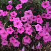 Petunia 'Supertunia Vista Bubblegum 2'