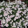 Petunia 'Supertunia Vista Silverberry 2'
