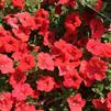 Petunia 'Sweetunia Orange Flash 2'