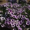 Petunia 'Sweetunia Purple Spotlight 2'