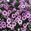 Petunia 'Sanguna® Patio Blue Vein 2'