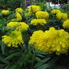 Marigold 'Big Duck Yellow'