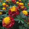 Marigold 'Hero Spry'