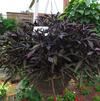 Ipomoea 'South of the Boarder Black Beans'
