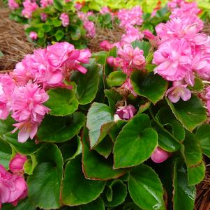 Begonia 'Double Up™ 'Pink''