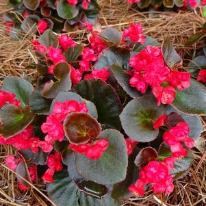 Begonia 'Double Up™ 'Red''