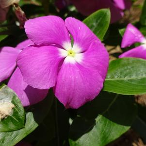 Catharanthus '20OS01C-2 'Valiant 'Orchid'''