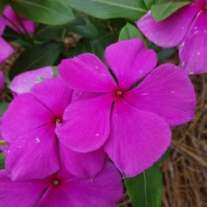 Catharanthus 'Valiant™ 'Lilac''
