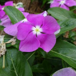 Catharanthus 'Valiant™ 'Orchid''