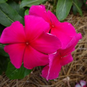 Catharanthus 'Valiant™ 'Punch''