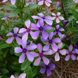 Catharanthus 'Soiree Kawaii® 'Blueberry Kiss''