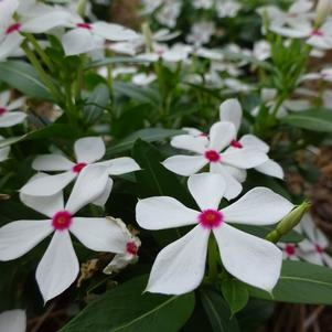 Catharanthus 'Soiree Kawaii® 'White Peppermint''