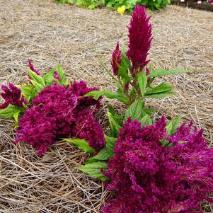 Celosia 'First Flame™ 'Purple''