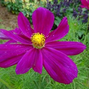 Cosmos ''Candyfloss Red''