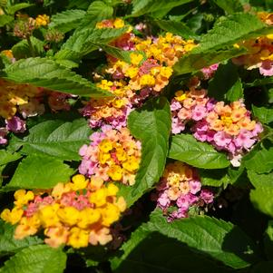 Lantana 'Gem™ 'Compact Rose Quartz''