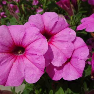 Petunia 'DuraBloom™ 'Royal Pink''