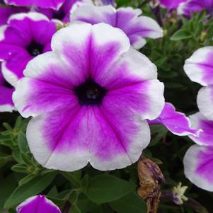 Petunia 'Surprise 'Purple Dance''