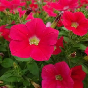 Petunia 'Shock Wave® 'Coral Crush''