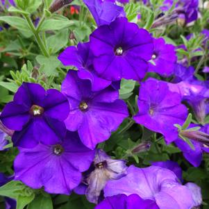 Petunia 'Shock Wave® 'Denim''