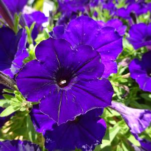 Petunia 'Supertunia® 'Royal Velvet'®'