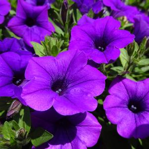 Petunia 'Supertunia® Mini Vista™ 'Indigo''