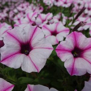 Petunia 'Supertunia® Mini Vista™ 'Pink Star''