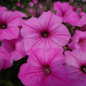 Petunia 'Supertunia® Mini Vista™ 'Bubblegum''